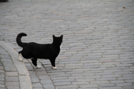 Cat crossing a street - Cat walking down from the pavement