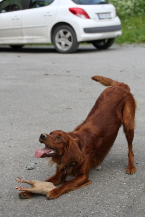 Irish setter - Irish setter with toy
