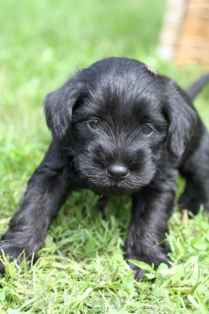 Young puppy - Small black puppy