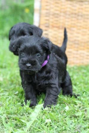 Two puppies - Two black puppies
