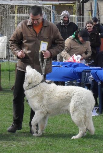 Hungarian Shepherd Kuwasz - at CAC Brasov 2011