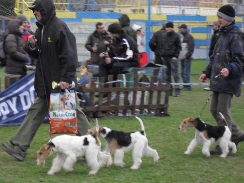 Fox Terriers - at CAC Brasov 2011