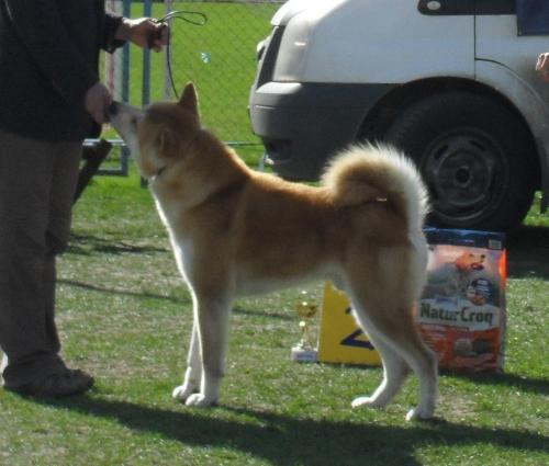 Akita - at CAC Brasov 2011