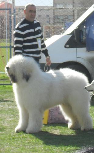 Romanian Shepherd Mioritic - at CAC Brasov 2011