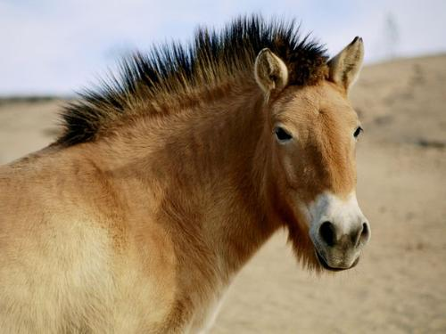 Wild Horse - The Przewalski's horse. They are endangered and people are trying to rebuild the herd in Mongolia.