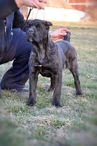 Cane Corso - beautiful and powerful dog