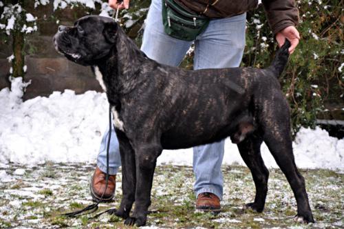 Cane Corso - beautiful and powerful dog