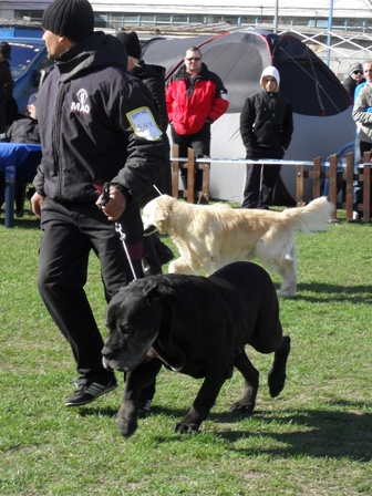 Best veteran in show judging  - at CAC Brasov 2011