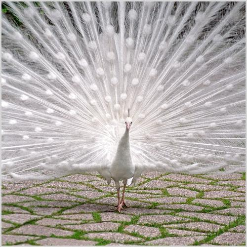 White Peacock.white resembles peace and happy mood - White peacock..where we cannot see them in all the location n our world and even we cannot see them opening their back which is very very awesome to see. Here I make everyone to see as it opens its back.  In other words Peacock is my National Bird and white resembles Peace,happy mood etc..