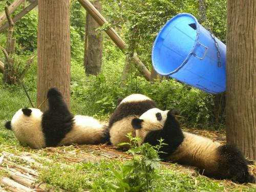 Two Panda's - Two Giant Panda's eating in capitivity.