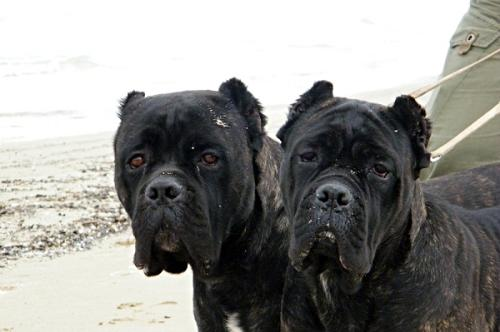 Cane Corso - a beautiful and powerful dog