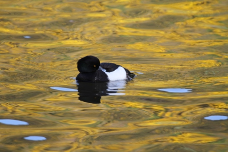 Black and white duck - Black and white duck on yellow water