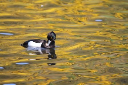 Swimming duck - Black and white duck swimming