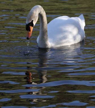 Swan in a pond - Swan swimming