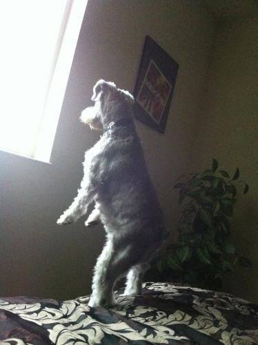 I see something! - This dog can stand on it's hind legs to look out the window!