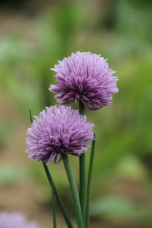 Flower - Lilac flower