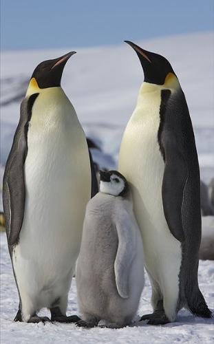 Penguins - These are a family of Emperor Penguins. They breed and lay their eggs on the continent of Antartica.