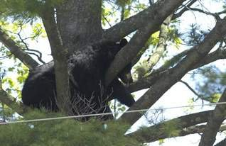 A bear in a tree - a black bear it is and in Wisconsin they mostly live way up north in the state. Once in awhile a bear finds it way down to central Wisconsin!