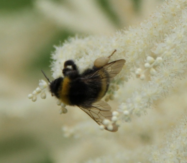 Bumblebee - Bumblebee on a white flower