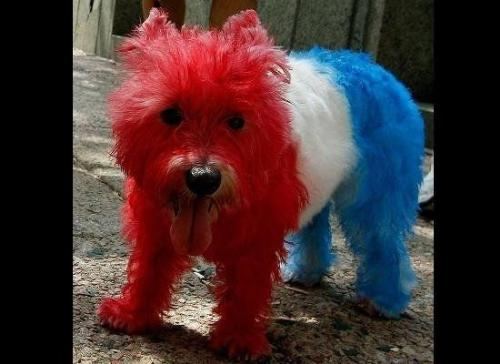 Red,white and blue dog! - This poor dog was colored red,white, and blue for 4th of July,last year! Some pet owners do crazy times with their pets!