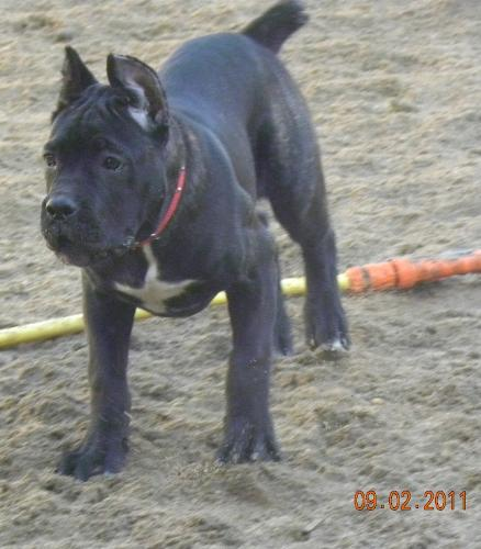 Cane Corso - Strong and beautiful dog