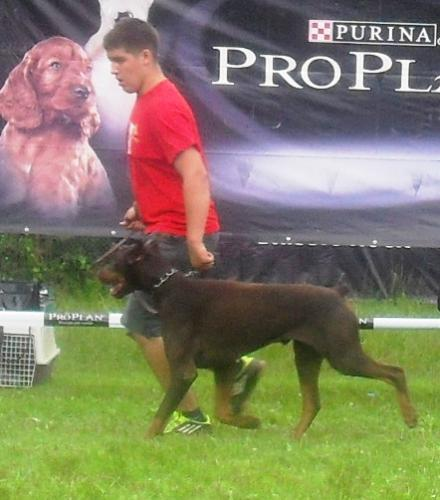 Doberman Pinscher - At CACIB Sibiu 2011