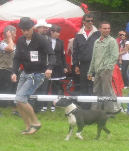 Bullterrier - at CACIB Sibiu 2011