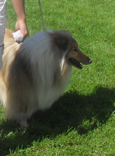 Rough Collie - at CACIB Sibiu 2011