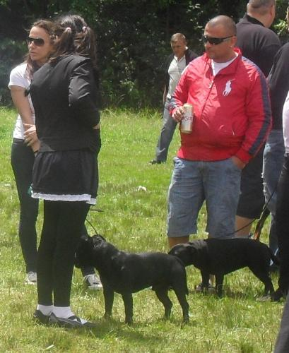 Staffies - at CACIB Sibiu 2011