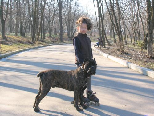 Cane Corso - One of the most beautiful dogs: strong yet lovely