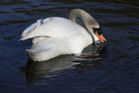 White swan - White swan swimming