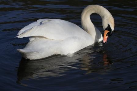 White bird - White swan swimming
