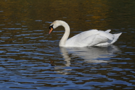Swan in a pond - White swan in a pond