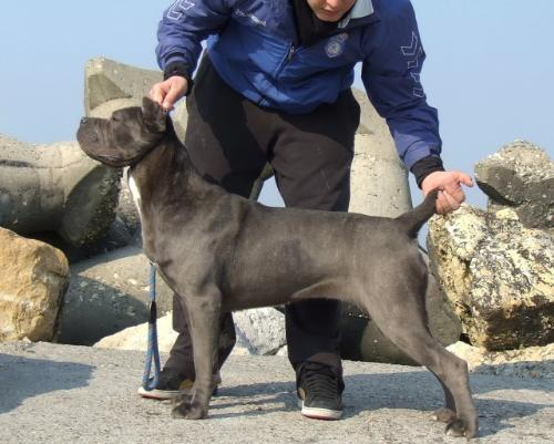 Cane Corso - a very strong and beautiful dog