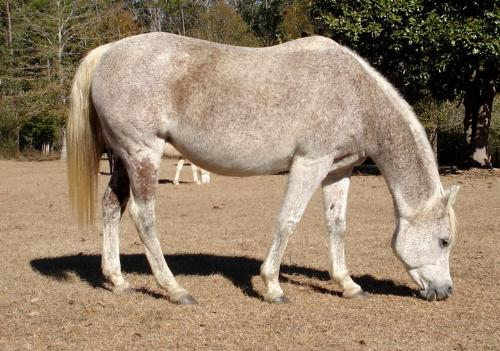Arab mare - This is a flea-bitten Arab mare.
