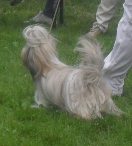 Shih Tzu - at CACIB Sibiu 2011