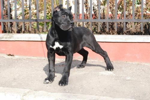 Cane Corso - Beautiful and Strong. As simple as that!