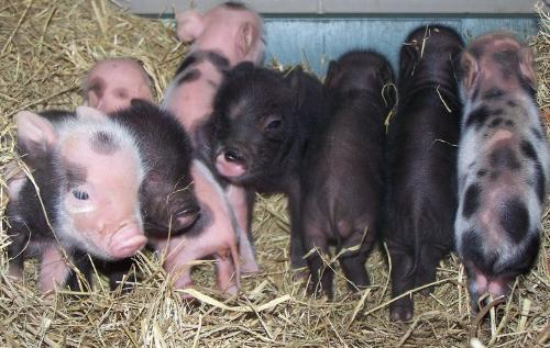 Piglets - These are potbelly piglets.