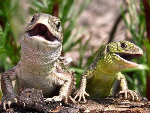 lizard couple - the lizard couple pose for photo