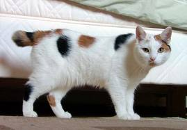 Manx with Short Almost Tail... - This tail looks several inches long & looks much like it has been chopped off.