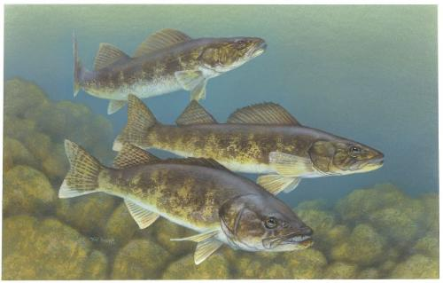 Walleye - A Painting of three Walleyes. Walleyes are good for eating!
