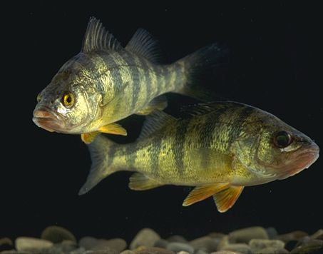 Yellow Perch - Perch is a very common fish which alot of people eat. It is not my favorite fish to eat.