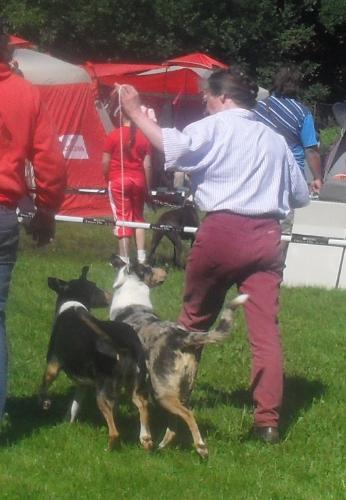 Collie smooth - at CACIB Sibiu 2011