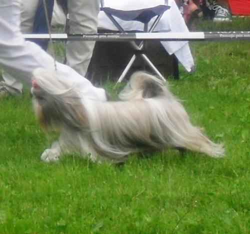 Shih Tzu - at CACIB Sibiu 2011