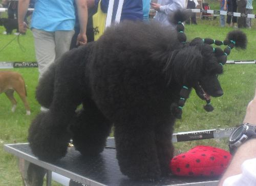 Black Poodle being prepared to enter the show ring - at CACIB Sibiu 2011