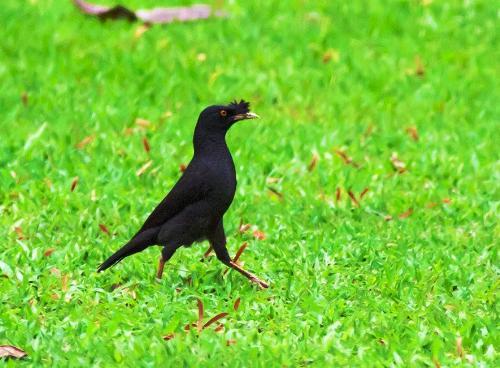 bird - black bird on a grass.