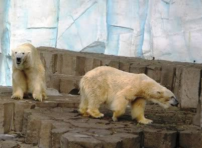 bears - Polar Bear