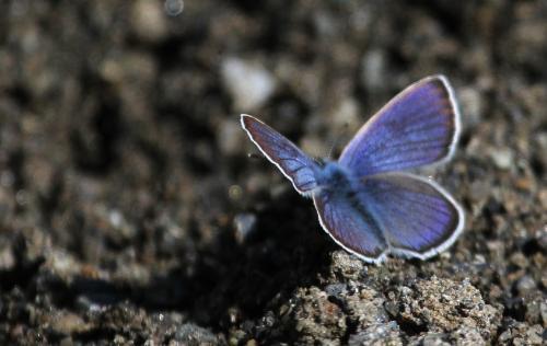 Blue butterfly - Blue butterfly in summer