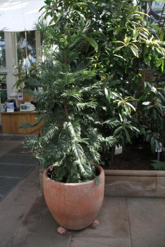 Wollemi pine - Potted wollemi pine