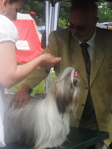 Shih Tzu being judged in the show ring - at CACIB Sibiu 2011